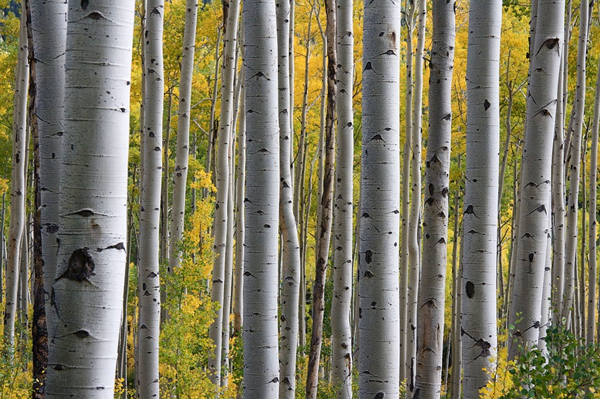The silver birch is a slender tree with wafer-thin bark that readily peels away on younger trees.
