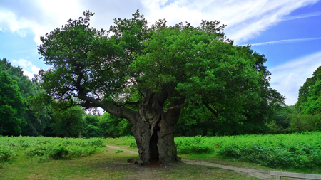 In recent tree news it was revealed that there are now over 3,400 ancient oaks in England – more than the rest of Europe combined!
