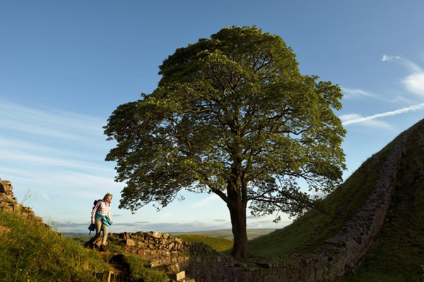 The Sycamore Gap tree is England's entry for the European Tree of the Year 2017